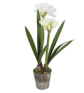 Bilde av Amaryllis i potte 90 cm (hvit)